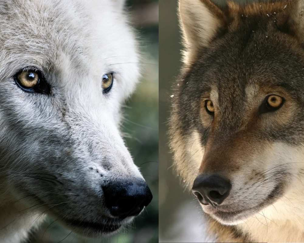 two wolves story